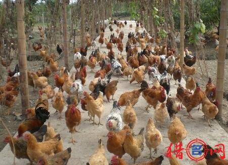 养鸡厂钱柜qg777